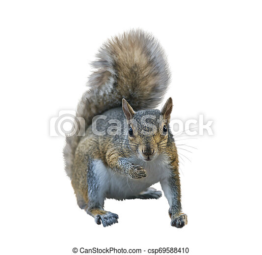 American gray squirrel on white background - csp69588410