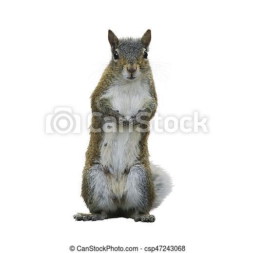 American Gray Squirrel - csp47243068