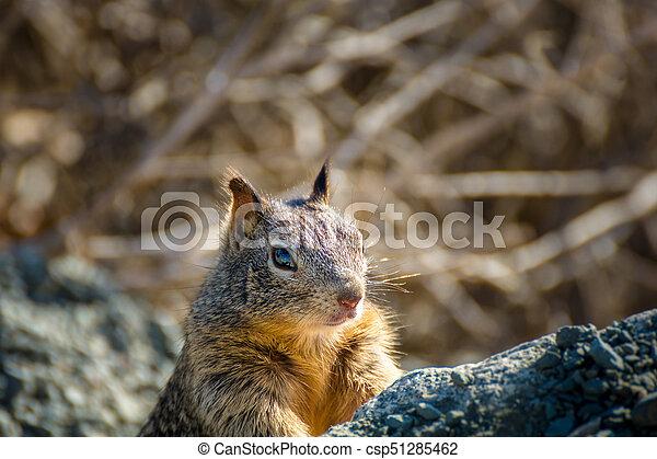 American grey squirrel peeking curious behind some rocks - csp51285462