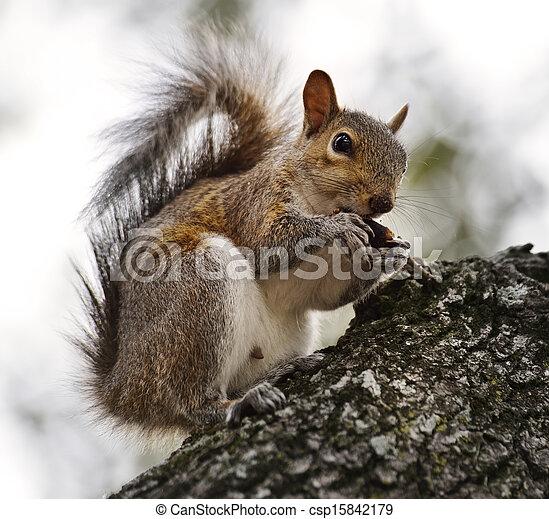 American Grey Squirrel - csp15842179