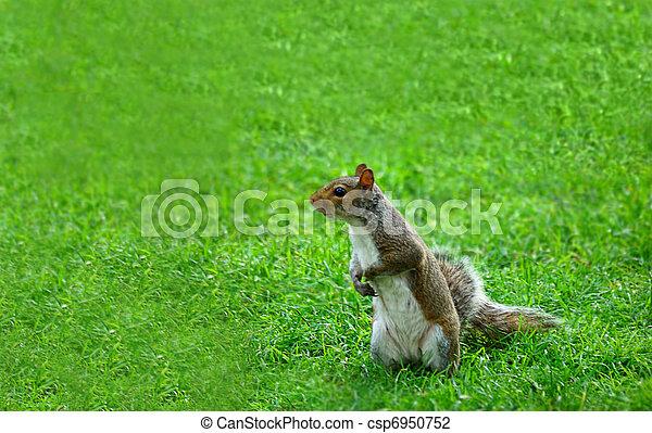 american grey squirrel - csp6950752