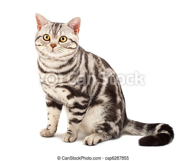 American Shorthair cat - csp6287855