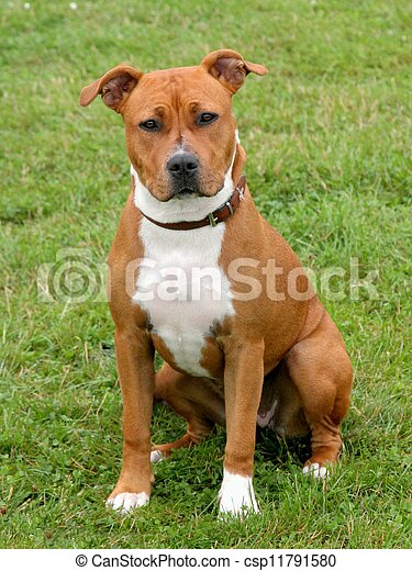 American Staffordshire Terrier - csp11791580