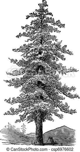American yellow pine (Pinus ponderosa) or Ponderosa Pine, vintage engraving. - csp6976602