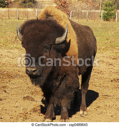 amerikan, buffel - csp0489643