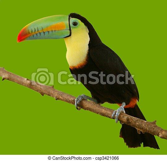 amerikaner, toucan, syd, farverig, fugl - csp3421066