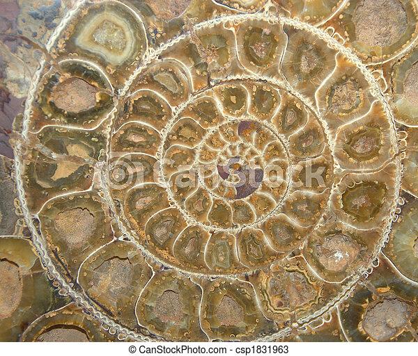 ammonite, section, croix, fossile - csp1831963