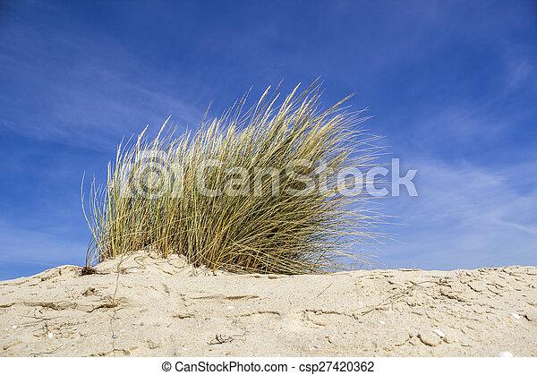 Ammophila arenaria, a species of grass known by the common names European marram grass and European beachgrass. - csp27420362