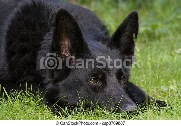 An alert black dog laid on grass. An alert black german shepherd dog ...