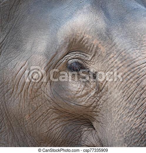 An elephant eye - csp77335909