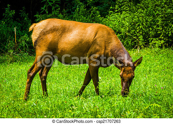 An elk in the grass at Great Smoky Mountains National Park, Nort - csp21707263