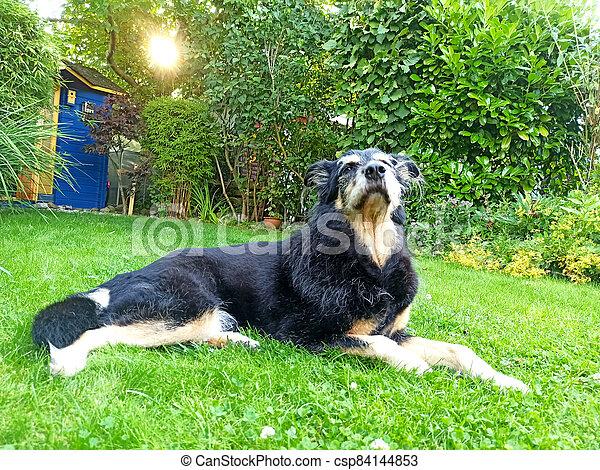 An old dog lying in a garden - csp84144853
