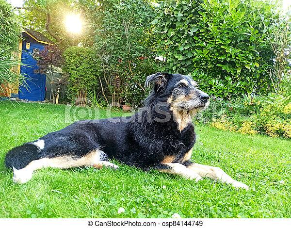 An old dog lying in a garden - csp84144749