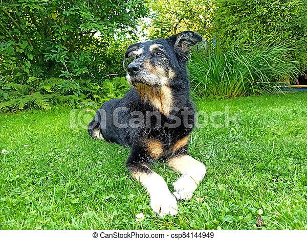 An old dog lying in a garden - csp84144949