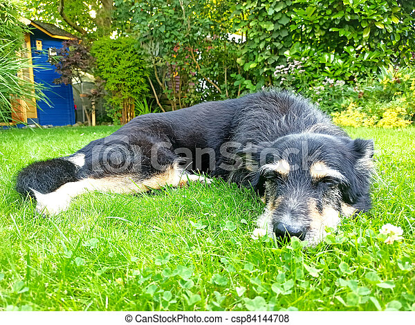 An old dog lying in a garden - csp84144708
