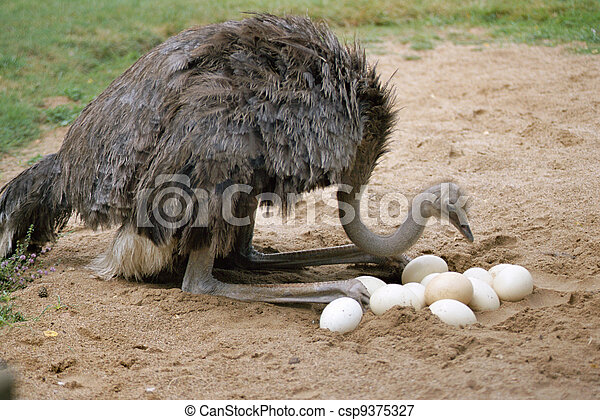 An ostrich and its eggs in its nest - csp9375327
