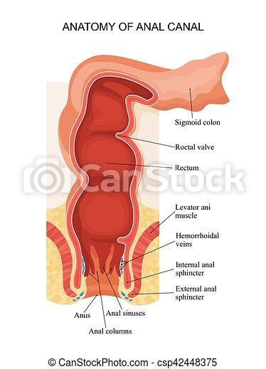 az anális anatómia
