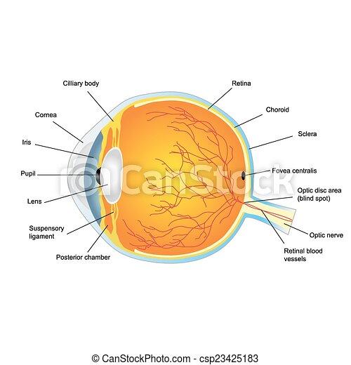 Anatómico, estructura ojo, humano. Estructura, ojo humano, anatómico ...