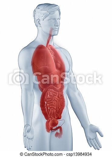 Anatomía, órganos, humano.