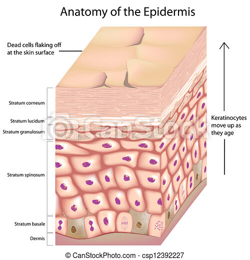 Anatomía, 3d, epidermis. Capas, epidermis, edad, arriba ...