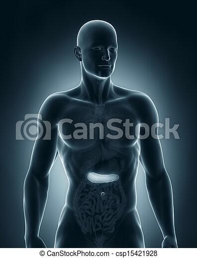 anatomía, anterior, macho, páncreas, vista - csp15421928