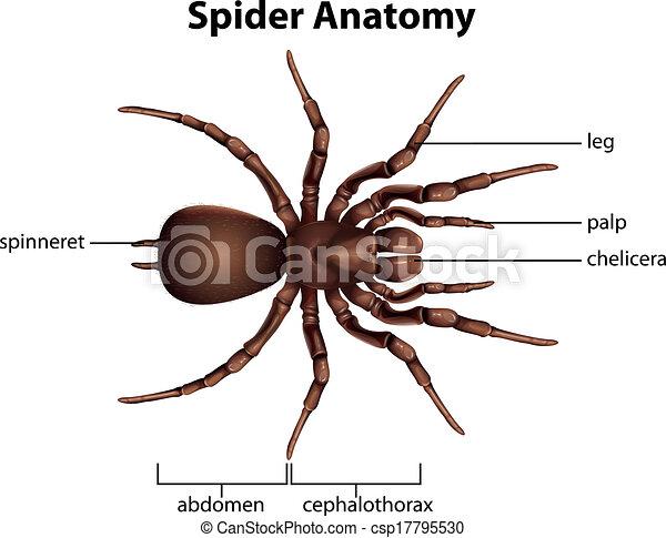 Anatomía, araña. Anatomía, actuación, araña, ilustración.