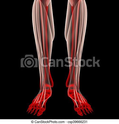 Anatomía, articulaciones, músculos, pierna humana. Músculos ...