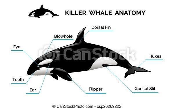 Anatomía, ballena, asesino. Asesino, fuentes, aislado, ilustración ...
