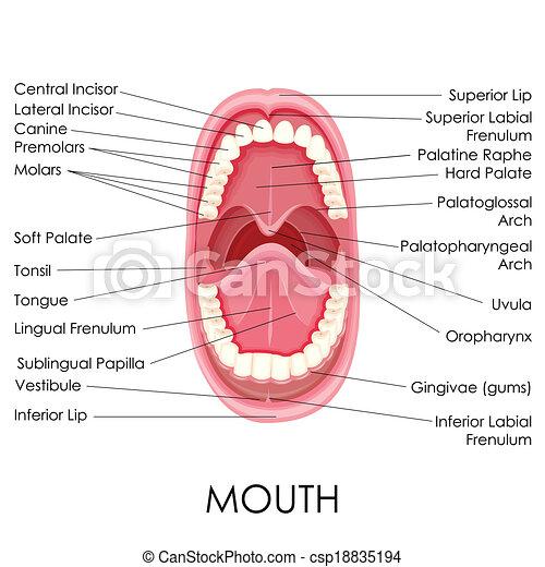 Anatomía, boca, humano. Diagrama, ilustración, anatomía, vector ...