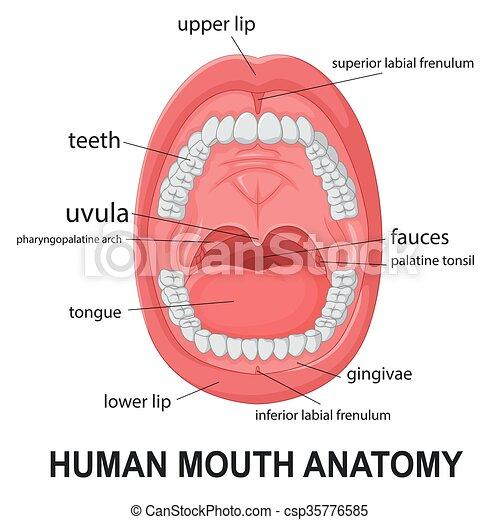 Anatomía, boca, humano. Anatomía, explicar, ilustración, vector ...