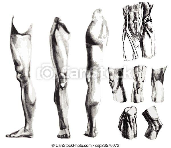 Anatomía, bosquejo. Carbón, músculos, pierna, set., abdomen, mano ...