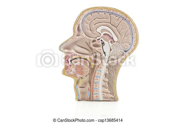 La anatomía humana y el cuello reflejan el espejo - csp13685414