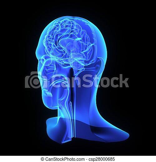 Anatomía, cabeza. Cabeza, focos, humano, glándulas, músculos ...