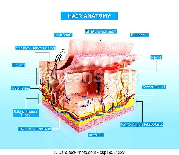 Anatomía, capa, piel humana. Capa, rendido, ilustración, anatomía ...