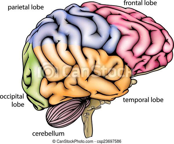 Anatomía, cerebro, diagrama. Colores, diferente, anatomía, sectioned ...