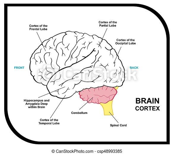 Anatomía, cerebro, diagrama, humano. Anatomía, parcial, médico ...