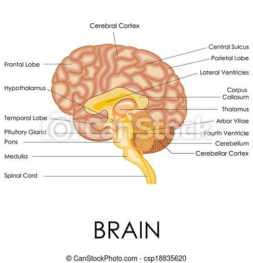 Anatomía, cerebro, humano. Diagrama, ilustración, anatomía, cerebro ...