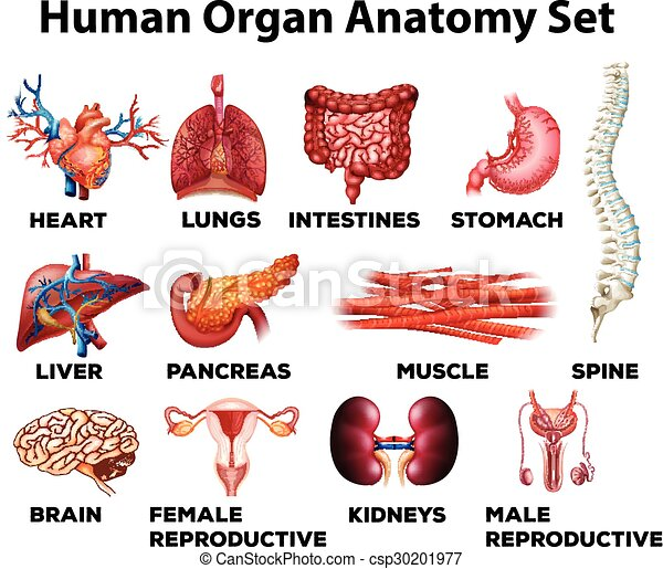 Anatomía, conjunto, humano, órgano. Anatomía, humano, conjunto ...