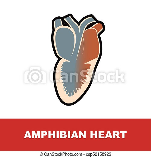Anatomía, corazón, anfibio. Corazón, ilustración, anatomía, vector ...