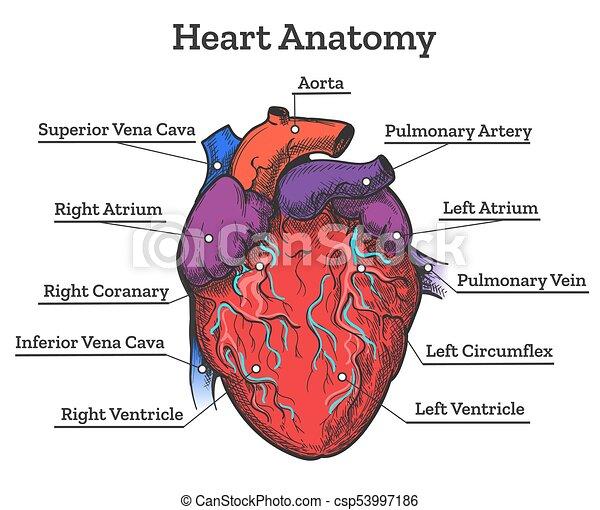 Anatomía, corazón, bosquejo, coloreado. Corazón, coloreado ...