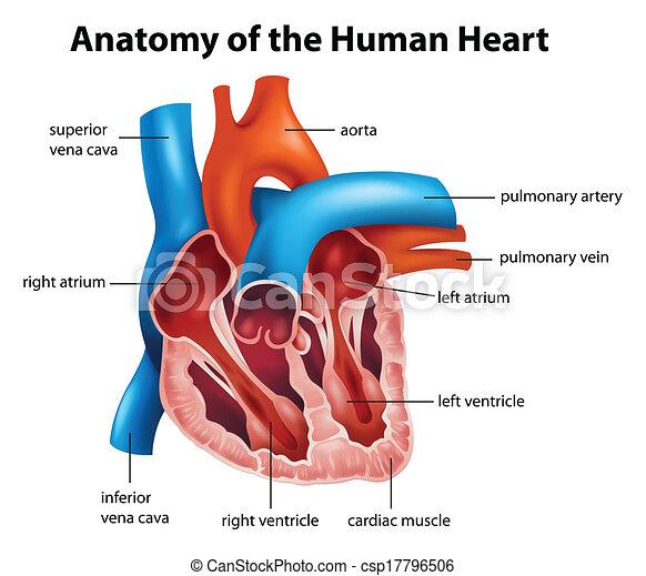 Anatomía, corazón, humano, ilustración.