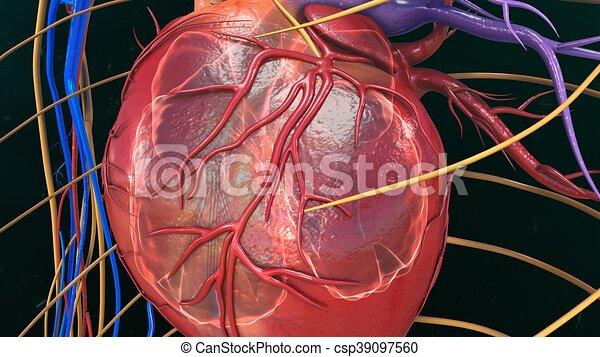 Anatomía, corazón, humano. Corazón, oxigenación,... ilustración de ...