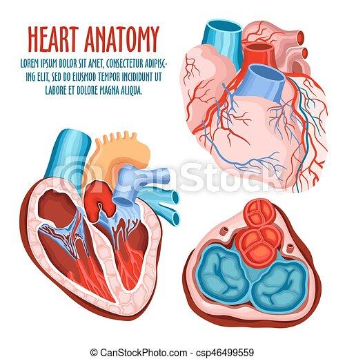 Anatomía, corazón, médico, estructura, cartel. Pulsation., corazón ...