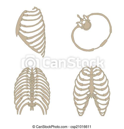 Anatomía, costillas, hueso. Anatomía, lado, costillas, cruz, espalda ...