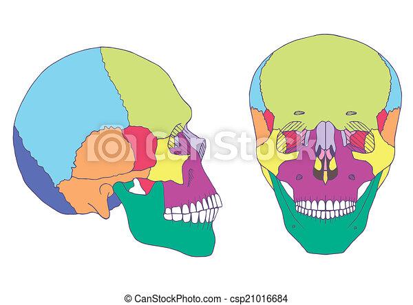 Anatomía, cráneo, ilustración, médico, humano, frente, vista lateral.