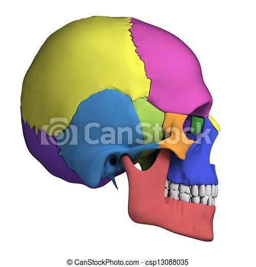 Anatomía, cráneo humano. Rendido, cráneo, -, ilustración, anatomía ...