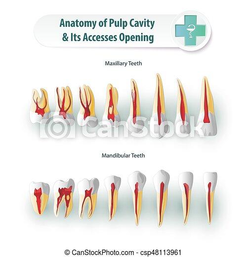 Anatomía, dental. Pulpa, stomatological, cavidades, apertura, dental ...