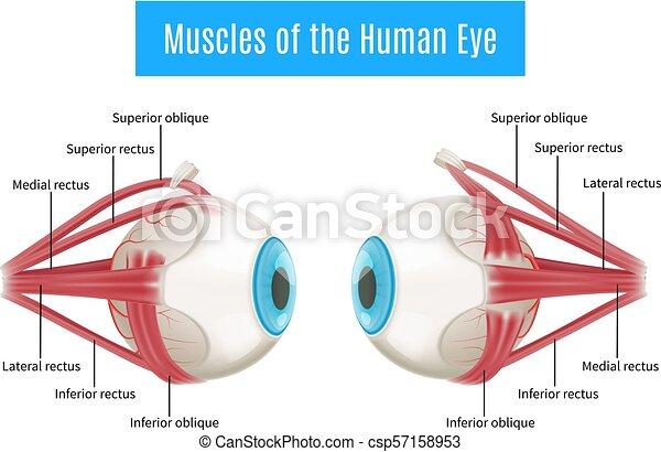 Anatomía, diagrama, ojo, humano. Anatomía, ojos, músculos, ojo ...