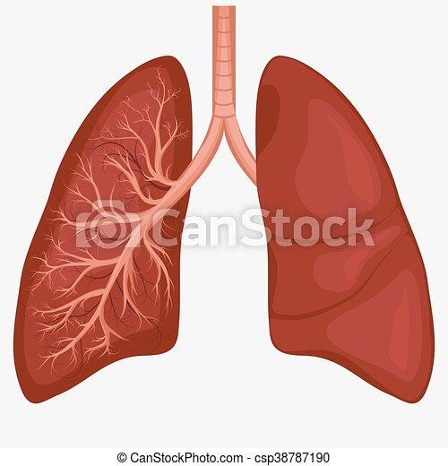 Anatomía, diagrama, pulmón, humano. Respiratorio, cáncer ...