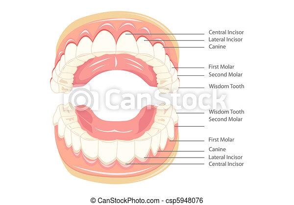 Anatomía de dientes - csp5948076
